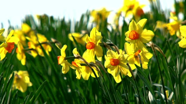 daffodil_flowers - daffodil stock videos & royalty-free footage