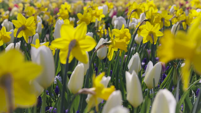daffodils and white tulips - flower head stock videos & royalty-free footage