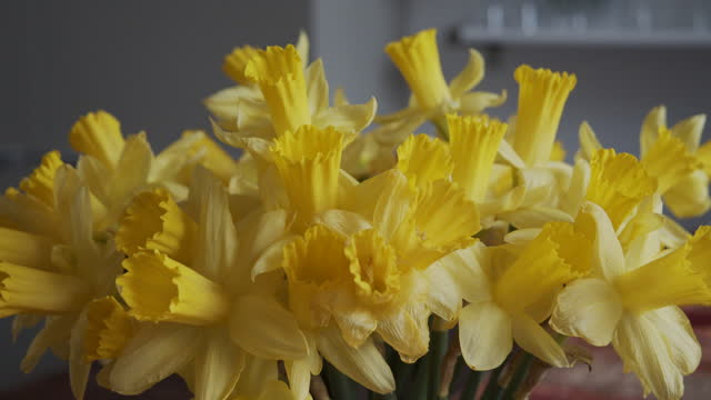 daffodils are the national flower of wales. worn on the national day on march 1 each year. and used by cancer charities throughout the world as their... - yellow stock videos & royalty-free footage