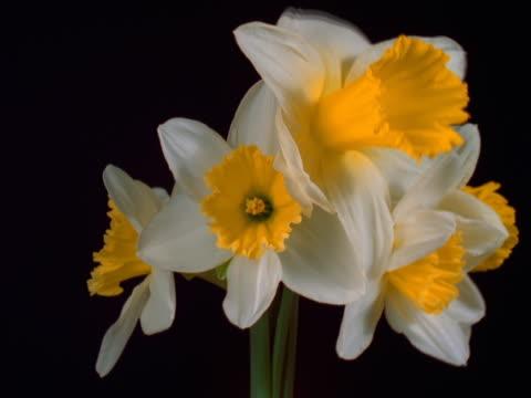 vídeos de stock e filmes b-roll de daffodils blooming - pistilo