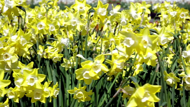 daffodils; dolly shot - paperwhite narcissus stock videos & royalty-free footage