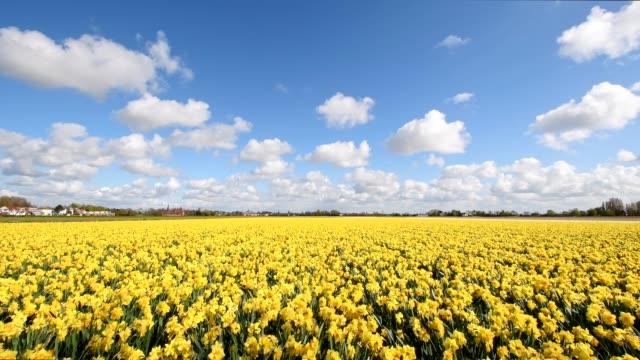 daffodils field in springtime, hillegom, bollenstreek, south holland, netherlands - daffodil stock videos and b-roll footage