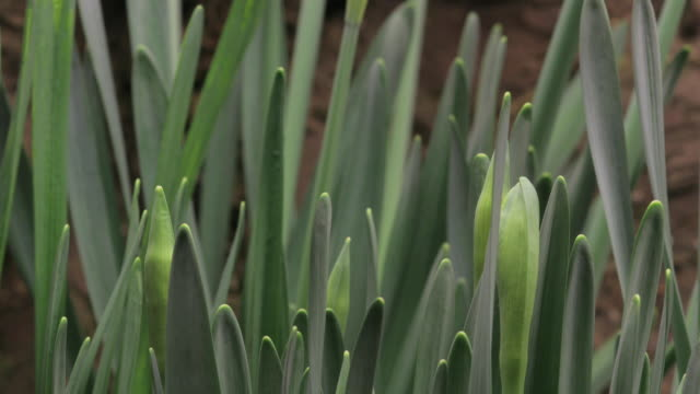 daffodils grow and blossom. - plant stem stock videos & royalty-free footage