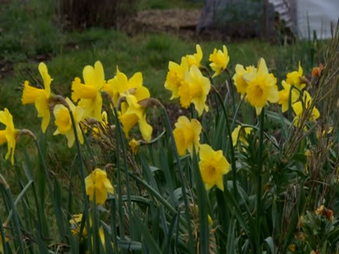 daffodils growing on an allotment - recreational pursuit stock videos & royalty-free footage