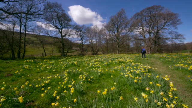 daffodil's in medow farndale north yorkshire - daffodil stock videos & royalty-free footage