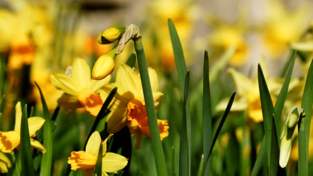 daffodils in springtime - paperwhite narcissus stock videos & royalty-free footage