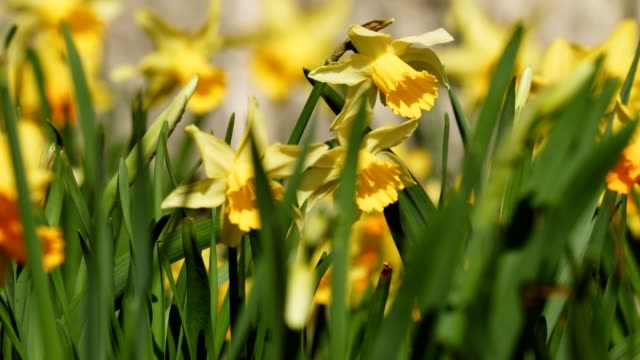 daffodils in springtime - daffodil stock videos & royalty-free footage