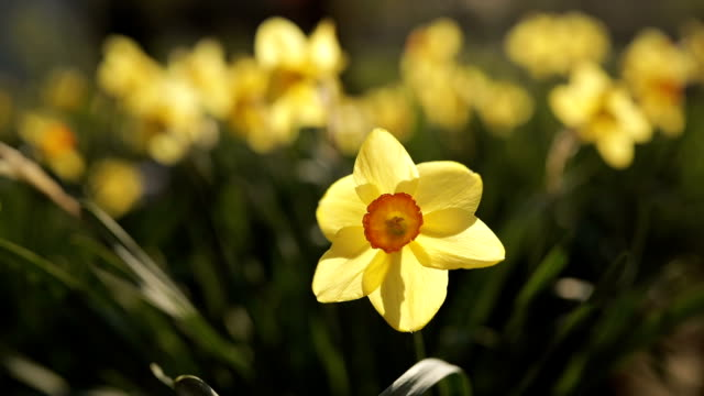 daffodils in the green field - paperwhite narcissus stock videos & royalty-free footage