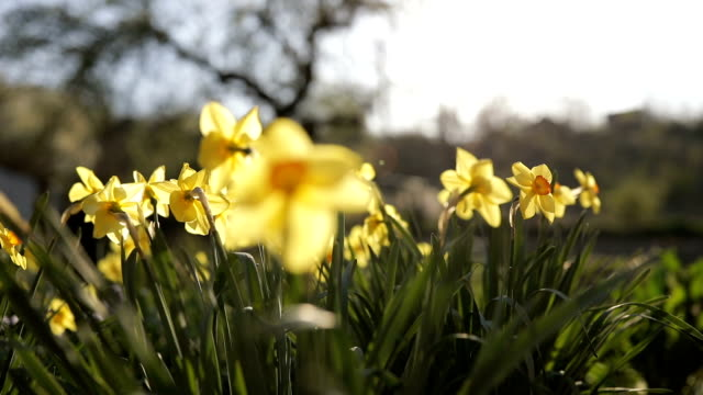 daffodils in the green field - daffodil stock videos & royalty-free footage