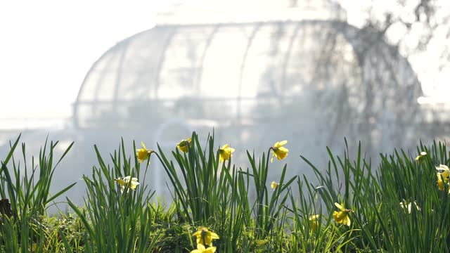 daffodils on bloom with the palm house in the background at kew gardens on march 2, 2021 in london, england. - formal garden stock videos & royalty-free footage