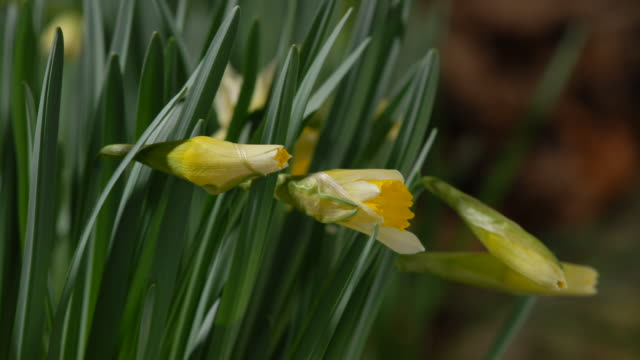 t/l daffodils (narcissus sp.) opening, mid shot take 2, united kingdom - daffodil stock videos & royalty-free footage