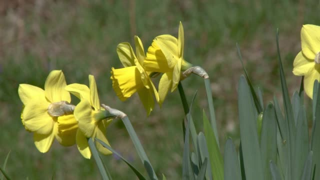 Daffodils swaying in the wind in rural Scotland