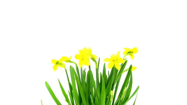 daffodils; time lapse - daffodil stock videos & royalty-free footage
