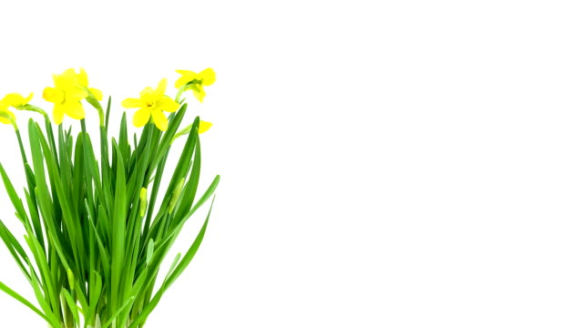 daffodils; time lapse - emergence stock videos & royalty-free footage