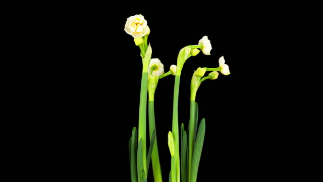 Daffodils; TIME LAPSE