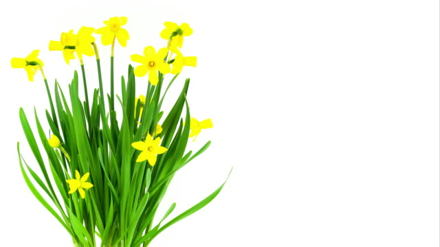 time lapse daffodils; - motivo floreale video stock e b–roll