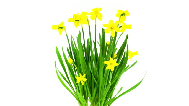daffodils; time lapse - daffodil stock videos and b-roll footage