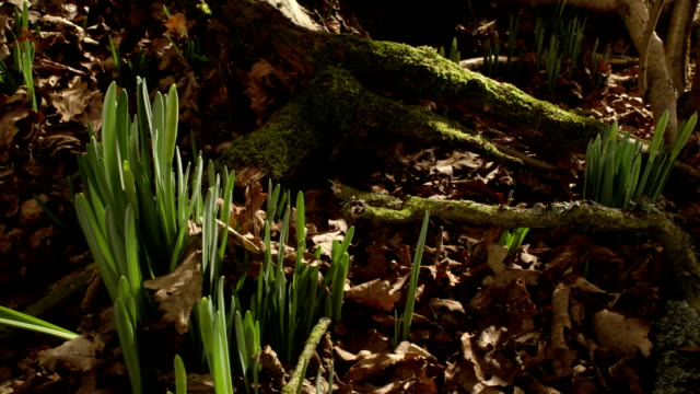 vidéos et rushes de t/l daffodils (narcissus sp.) track back, united kingdom - long