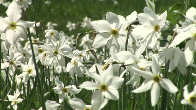 hd: daffodils - paperwhite narcissus stock videos & royalty-free footage