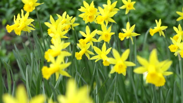 daffodils - daffodil stock videos & royalty-free footage