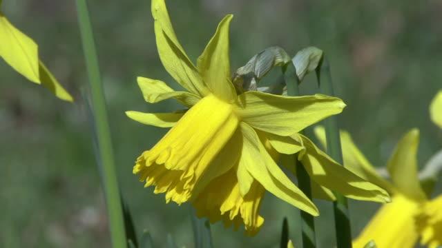 daffodils - daffodil stock videos and b-roll footage