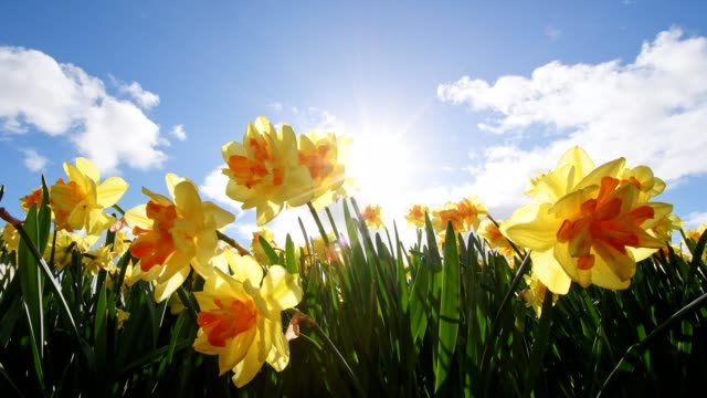 daffodils with sun in springtime, hillegom, bollenstreek, south holland, netherlands - daffodil stock videos & royalty-free footage