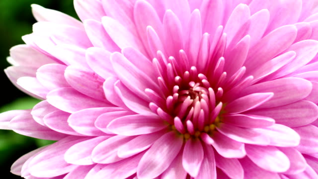 dahlia blooming in time lapse video - sex education stock videos and b-roll footage