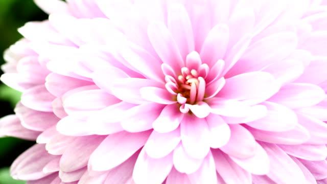 タイムラプス ビデオに咲くダリア - ダリア点の映像素材/bロール