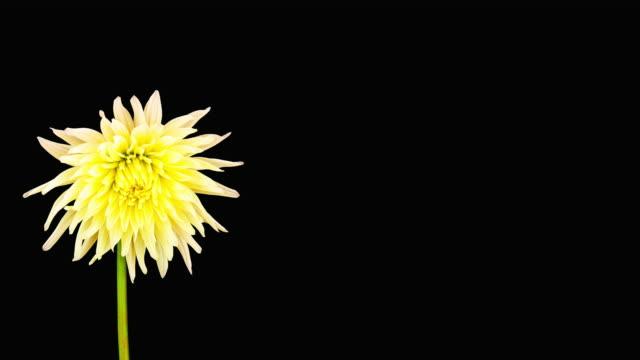 stockvideo's en b-roll-footage met dahlia bloeien time-lapse - bloemhoofd
