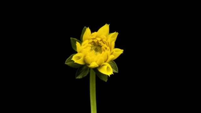 Dahlia bloeien time-lapse