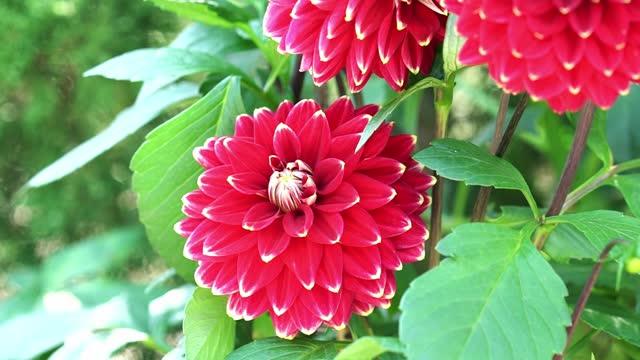 dahlia blooms in a small garden - perennial stock videos & royalty-free footage