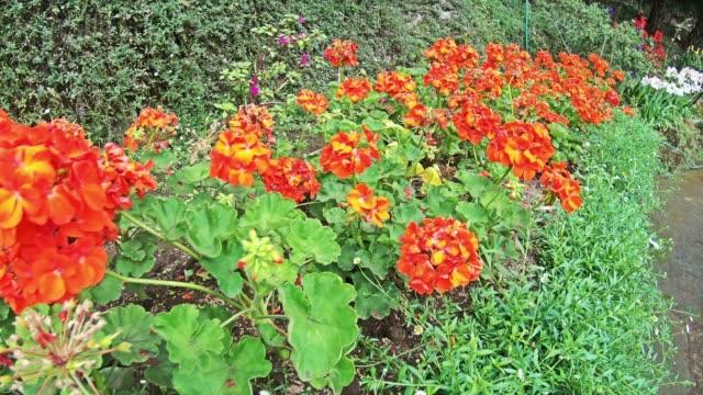Dahlia bloem op ochtend licht in groene tuin