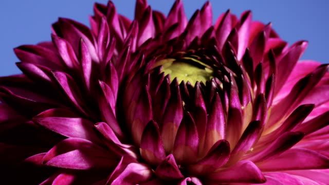 dahlia flower opening, timelapse - magenta stock videos & royalty-free footage