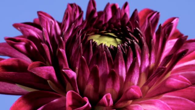 Dahlia flower opening, timelapse