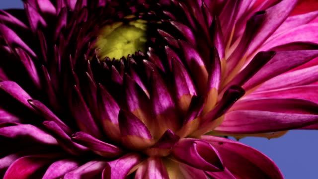 dahlia flower opening, timelapse - number 9 stock-videos und b-roll-filmmaterial