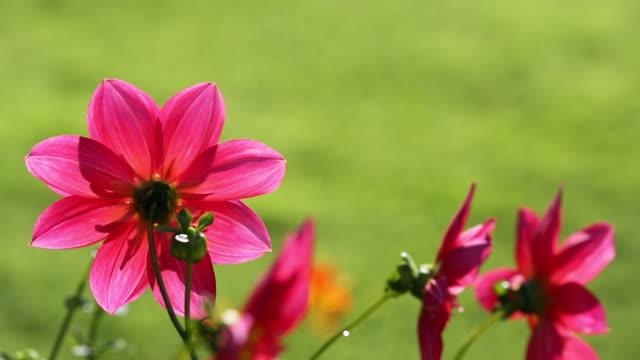 Dahlia flowers in Holehird Gardens, Windermere, Cu
