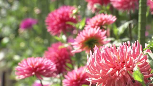 dahlia flowers - aomori prefecture stock videos & royalty-free footage