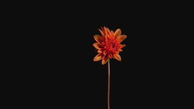 t/l, cu, dahlia opening and withering against black background - 花 個影片檔及 b 捲影像