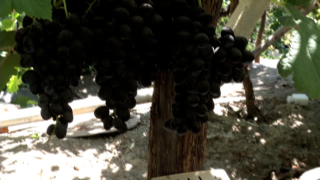 dahuk grapes agriculture - grape stock videos & royalty-free footage