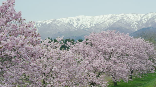 dainosawa cherry blossoms and asahi mountain range - mountain range点の映像素材/bロール
