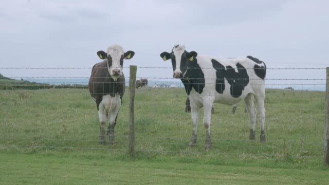dairy cattle grazing at farm - cattle stock videos & royalty-free footage