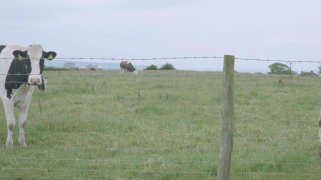 stockvideo's en b-roll-footage met melkvee rundvee grazen op de boerderij - dierlijk gedrag