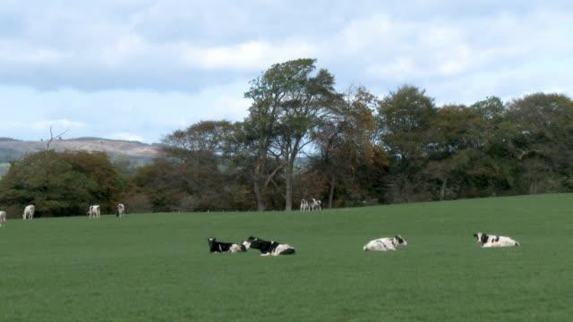 vídeos de stock e filmes b-roll de dairy cattle in a scottish field on an autumn day - gado holstein friesian