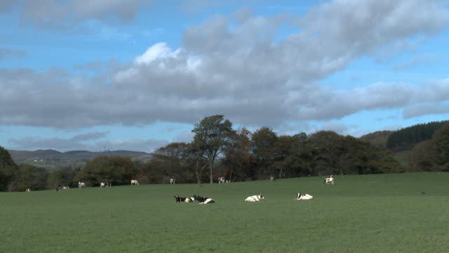 dairy cattle in a scottish field on an autumn day - livestock stock videos & royalty-free footage