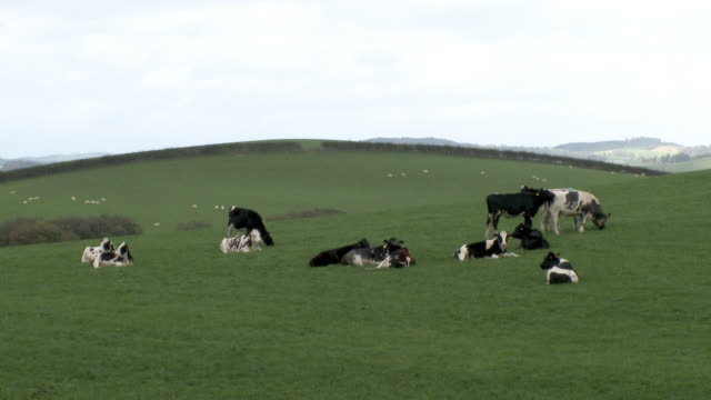 dairy cattle in a scottish field on an overcast day - grazing stock videos & royalty-free footage