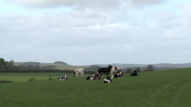 Dairy cattle in a Scottish field on an overcast day