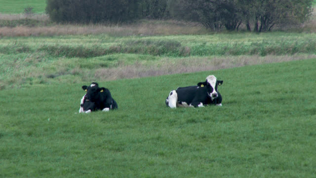 dairy cattle in a scottish field on an overcast day - pascolo video stock e b–roll