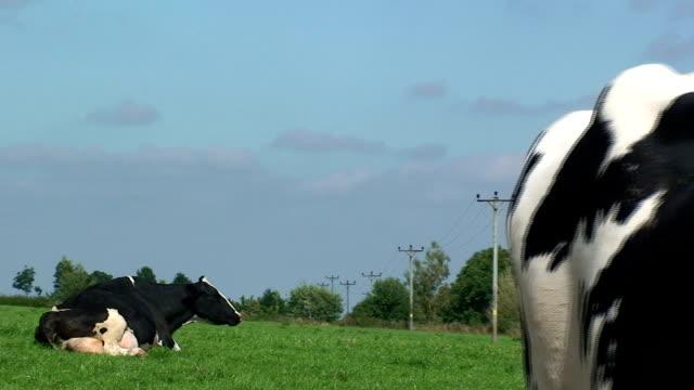 stockvideo's en b-roll-footage met dairy cattle - dagboek