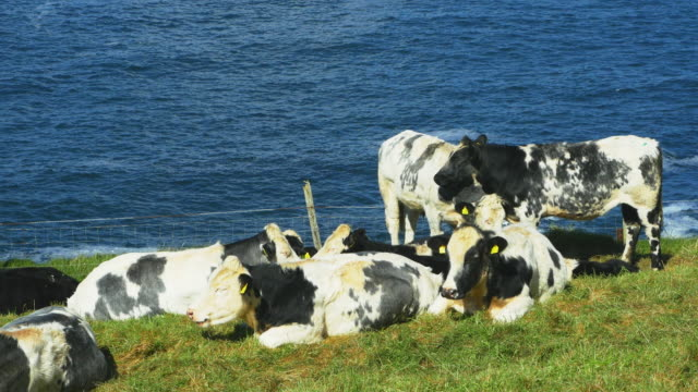 dairy cattles grazing on headland - cattle stock videos & royalty-free footage