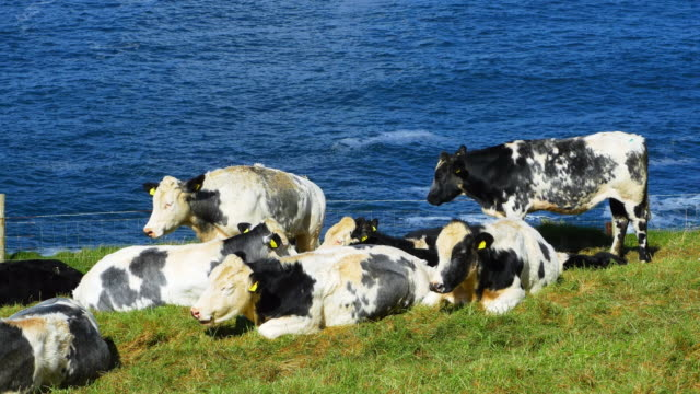 dairy cattles grazing on headland - republic of ireland stock videos & royalty-free footage